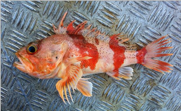 Fish earbones as a tool to examine climate variability for Ocean perch fish