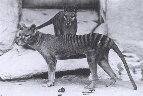 Thylacine Thylacinus cynocephalusImage: Kelly Garbato