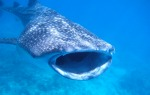 Image: Whale Shark, coutesy of KAZ2.0/Flickr