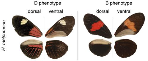 Image: Heliconius melpomene races with different phenotypes, H. melpomene ecuadorensis from Ecuador (left) and H. melpomene melpomene from French Guiana.