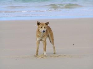 Dingo , Fraser Island. Image - ogwens/Flickr