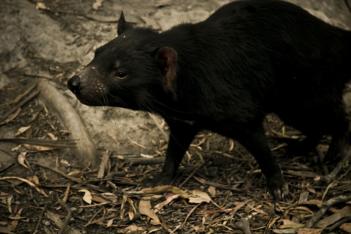 Tasmanian Devil. Image - Flickr/Scott Nolan