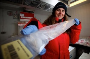 Nerilie Abram working on the ice core. Image: Paul Roger